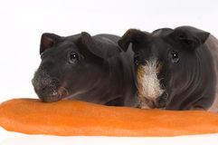 Skinny guinea pigs with carrot on white background Royalty Free Stock Photography