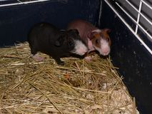 Skinny guinea pigs Royalty Free Stock Photo