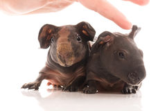 Skinny guinea pigs on white background Royalty Free Stock Photos