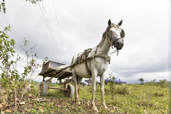 Skinny horse. Carrying a cart tied up to a tree Royalty Free Stock Photo