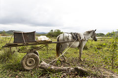 Skinny horse. Carrying a cart tied up to a tree Royalty Free Stock Photos
