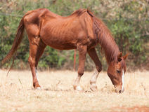 Skinny horse. In the pasture in the summer Stock Image