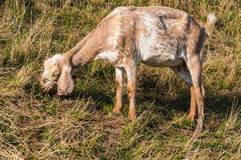 Skinny light brown Nubian goat is eating grass Stock Photography