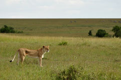 Skinny Lioness Stock Photography