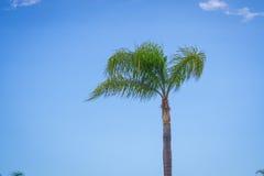 Skinny Palm Tree Royalty Free Stock Photo