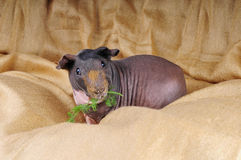 Skinny pig Stock Images