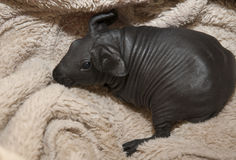 Skinny pig Royalty Free Stock Photos