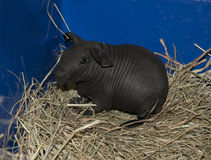 Skinny pig Stock Photography