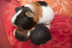 Skinny pig Royalty Free Stock Images
