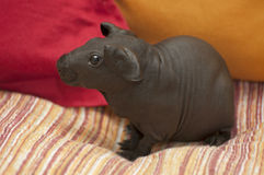 Skinny pig Royalty Free Stock Image
