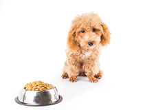 A skinny poodle puppy next to her bowl of kibbles Stock Photo