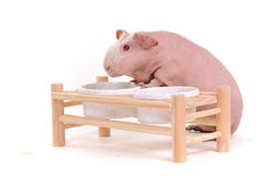 Skinny Rodent at Food Bowl Support Stock Image