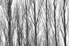 Skinny tree trunks Royalty Free Stock Image