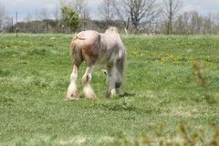 Horse, Long Hair. Skinny, white and beige long hair horse wearing an eye sunshade, while in a small pasture Stock Images