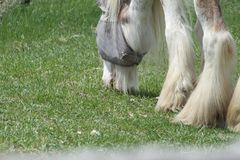 Horse, Long Hair. Skinny, white and beige long hair horse wearing an eye sunshade, while in a small pasture Royalty Free Stock Image