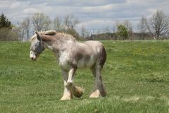 Horse, Long Hair. Skinny, white and beige long hair horse wearing an eye sunshade, while in a small pasture Royalty Free Stock Photos