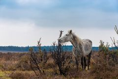 Skinny white horse in New Forrest. Skinny white horse eating top of the bushes in New Forrest National Park Hampshire UK stock images