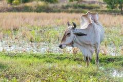 Skiny питание коровы на траве в поле риса Стоковое Фото