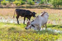 Skiny питание коровы на траве в поле риса Стоковая Фотография