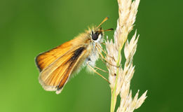 Skipper Royalty Free Stock Photo