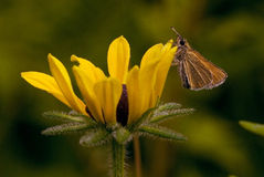 Skipper on a black-eyed susan blossom Royalty Free Stock Photo