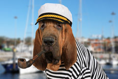 The skipper Bloodhound dog Stock Photo