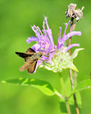 Skipper Butterfly Royalty Free Stock Photos
