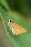 Skipper butterfly. A small skipper butterfly sitting on green leaf Royalty Free Stock Images