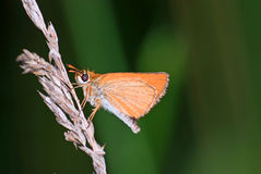 Skipper butterfly Stock Image
