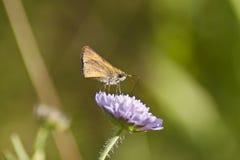 Skipper butterfly. Little skipper butterfly on the flower Royalty Free Stock Photo