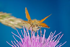 Skipper Butterfly. A Skipper Butterfly in its natural environment with a blue background royalty free stock photo