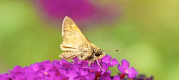 Skipper Butterfly Royalty Free Stock Images
