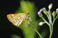 Skipper butterfly Stock Photo