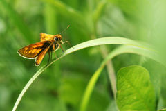 Skipper butterfly Royalty Free Stock Image