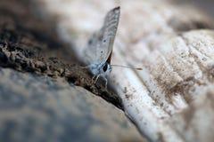 Skipper butterfly stock image