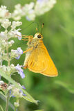 Skipper butterfly. The close-up of a yellow Skipper butterfly Stock Images