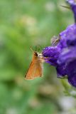 Skipper Butterfly on Delphinium Stock Photos