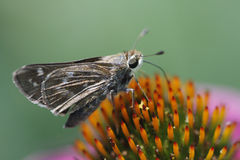 Skipper Butterfly on Echinacea Coneflower. This is a skipper butterfly sipping nectar from a purple echinacea coneflower stock images