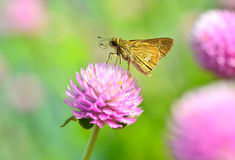 Skipper butterfly Stock Images