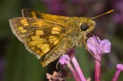 Skipper Butterfly on Flower. Orange Skipper Butterfly feeding on purple flower Stock Photography