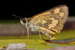 Skipper butterfly on green leaf Royalty Free Stock Photography