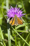 Skipper butterfly on knapweed royalty free stock photos