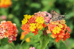 Skipper Butterfly on Lantana Royalty Free Stock Images