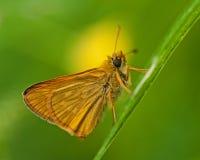 Skipper butterfly Ochlodes sylvanus Royalty Free Stock Photos