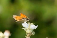 Skipper butterfly Ochlodes sylvanus Stock Photo
