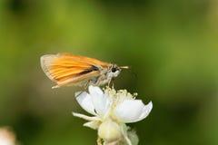 Skipper butterfly Ochlodes sylvanus Royalty Free Stock Image