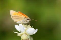 Skipper butterfly Ochlodes sylvanus Stock Photography