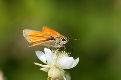 Skipper butterfly Ochlodes sylvanus. A large skipper butterfly Ochlodes sylvanus on a flower Royalty Free Stock Image