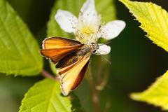 Skipper butterfly Ochlodes sylvanus. A large skipper butterfly Ochlodes sylvanus on a flower Royalty Free Stock Photography