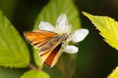 Skipper butterfly Ochlodes sylvanus. A large skipper butterfly Ochlodes sylvanus on a flower Stock Photo